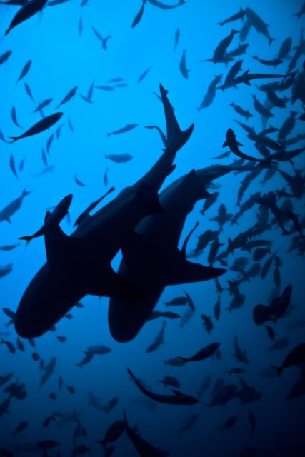 large_michael-muller-sharks-6